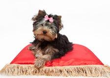 Yorkshire Terrier que se sienta en la almohada roja Fotos de archivo libres de regalías