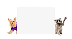 Yorkshire terrier and raccoon, peeking from behind banner Stock Photo