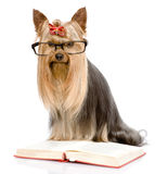 Yorkshire Terrier read book. isolated on white background Royalty Free Stock Photography