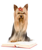 Yorkshire Terrier read book. isolated on white background Royalty Free Stock Image