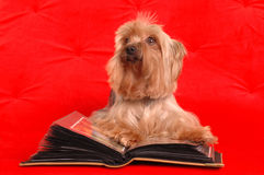 Yorkshire terrier reading a book Royalty Free Stock Photos