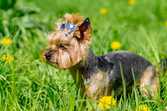 Yorkshire terrier ready to run Stock Photo