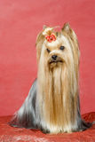 Yorkshire terrier on red background Stock Images
