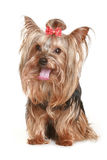 Yorkshire terrier with red bow Royalty Free Stock Images
