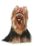 Yorkshire terrier with red bow Stock Photography