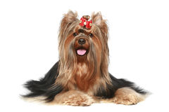 Yorkshire terrier with red bow Royalty Free Stock Photo