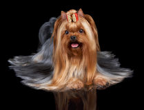 Yorkshire Terrier with red bow Stock Photo
