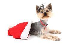 Yorkshire terrier in the red cap Royalty Free Stock Photography