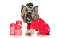 Yorkshire Terrier with red Christmas candles Stock Photos