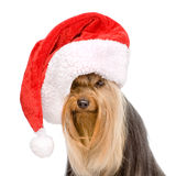 Yorkshire Terrier in red christmas Santa hat. isolated on white Royalty Free Stock Images