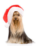 Yorkshire Terrier in red christmas Santa hat. isolated on white Royalty Free Stock Photography