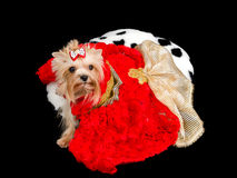 Yorkshire Terrier with red dress Stock Photo