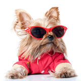 Yorkshire Terrier with red glasses. Dog wearing pin-up red glasses on white background stock images