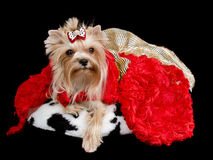 Yorkshire terrier with red and golden dress Stock Images