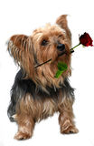 Yorkshire terrier. With red rose in his mouth Stock Photos
