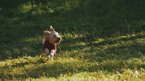 Yorkshire terrier in red vest running on grass during summer festival stock video footage