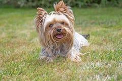 Yorkshire Terrier regarde l'appareil-photo Photos stock