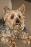 Yorkshire terrier resting on a couch Royalty Free Stock Image
