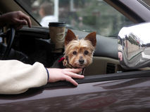 Yorkshire terrier riding in car Stock Photos