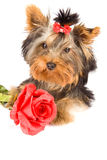 Yorkshire Terrier with rose - Dog Stock Photography