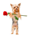 Yorkshire Terrier with a rose Royalty Free Stock Images
