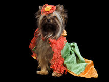 Yorkshire Terrier with royal dress Royalty Free Stock Image