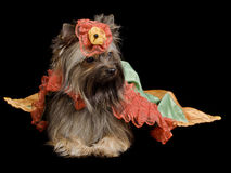 Yorkshire Terrier with royal dress Stock Photo