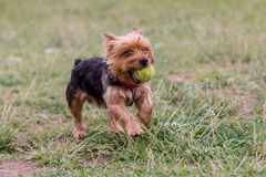 Yorkshire Terrier running with a ball Selective focus on the dog Royalty Free Stock Image