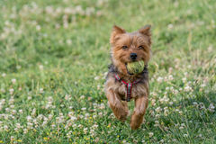 Yorkshire Terrier running with a ball Selective focus on the dog Royalty Free Stock Images