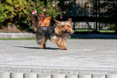 Yorkshire terrier running on a cobblestone with a toy in its mouth Stock Photo