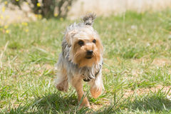 Yorkshire terrier running. Yorkshire terrier running at a park Royalty Free Stock Images