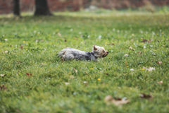 Yorkshire terrier running in park Stock Image
