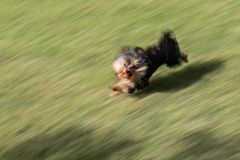 Yorkshire terrier running. A yorkshire terrier puppy running in a field at sunset in Spain Royalty Free Stock Image