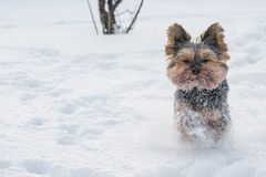 Yorkshire Terrier running in the snow Stock Photos