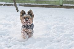 Yorkshire Terrier running in the snow Stock Image