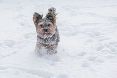 Yorkshire Terrier running in the snow Royalty Free Stock Images