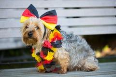 Yorkshire Terrier sammanträde på bänken, med öglan och kedjan i Tysklandfärger royaltyfria bilder