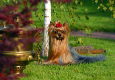 Yorkshire terrier with samovar Stock Photography