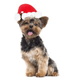 Yorkshire Terrier with a santa claus hat, isolated on white Royalty Free Stock Images
