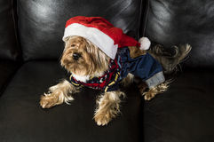 Yorkshire Terrier in Santa Hat rests on a leather sofa Stock Photography