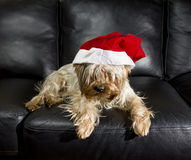 Yorkshire Terrier in Santa Hat rests on a leather sofa Royalty Free Stock Image