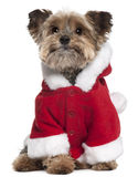 Yorkshire Terrier in Santa outfit, 9 years old Stock Photo