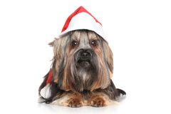 Yorkshire Terrier in Santa Red hat Royalty Free Stock Photo