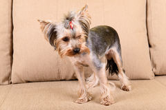 Yorkshire terrier scared Stock Photos