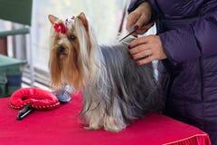 Yorkshire Terrier se está preparando para la exposición canina Imagenes de archivo