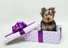 Yorkshire Terrier se lame los labios y se sienta en una caja de regalo Fotografía de archivo libre de regalías