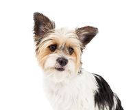 Yorkshire Terrier and ShihTzu Crossbreed Closeup Stock Image