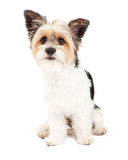 Yorkshire Terrier and ShihTzu Crossbreed Royalty Free Stock Photos