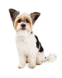 Yorkshire Terrier and ShihTzu Crossbreed Sitting Royalty Free Stock Photos