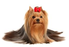 The Yorkshire Terrier of show class Royalty Free Stock Photo